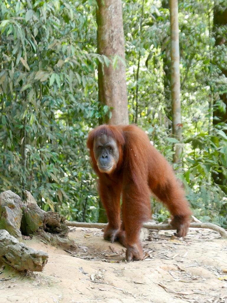 mina orang outan sumatra