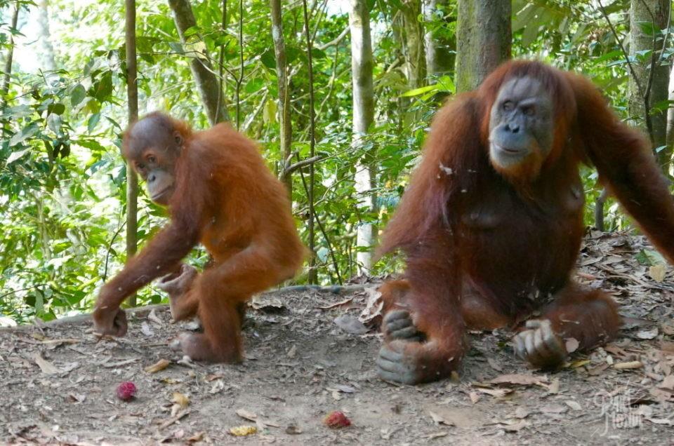 Sumatra : ma rencontre avec les Orangs Outans à Bukit Lawang