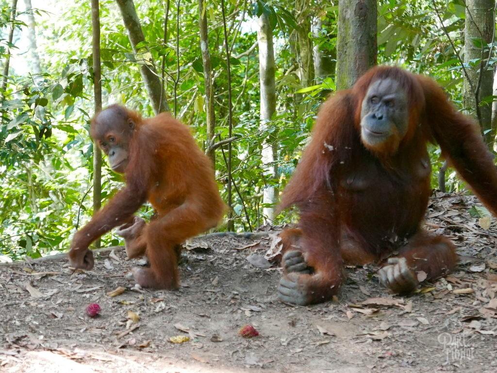 orang outan mina bébé