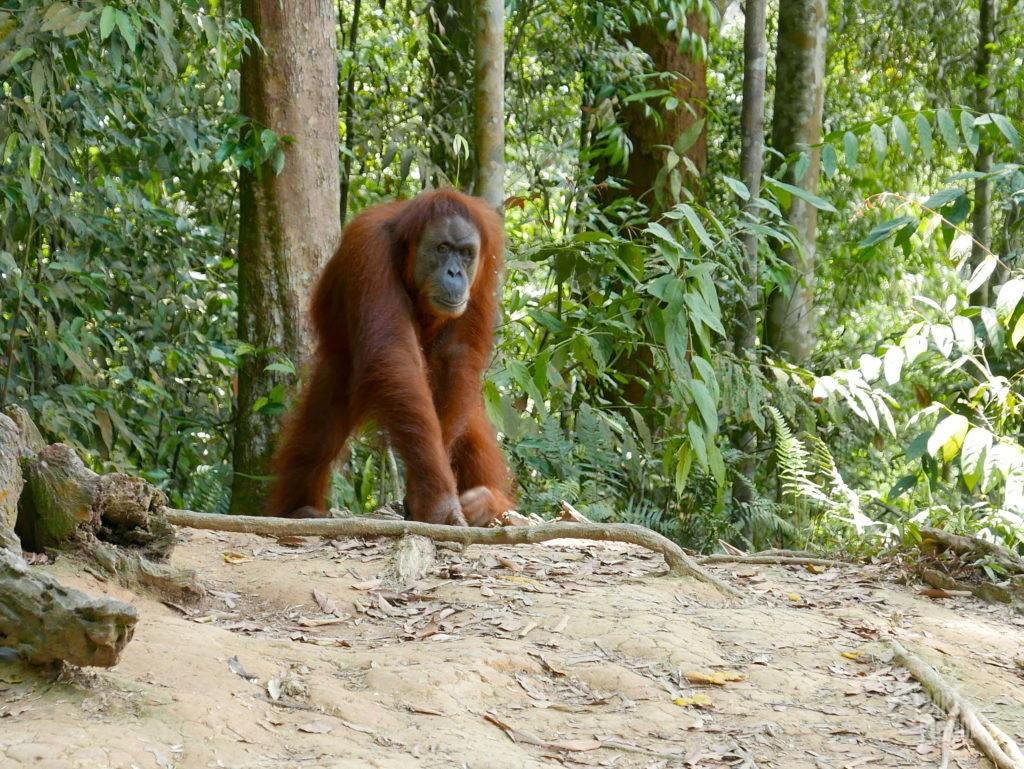 orangs outans indonésie