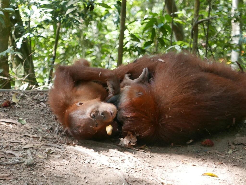 orangs outans mina jeu