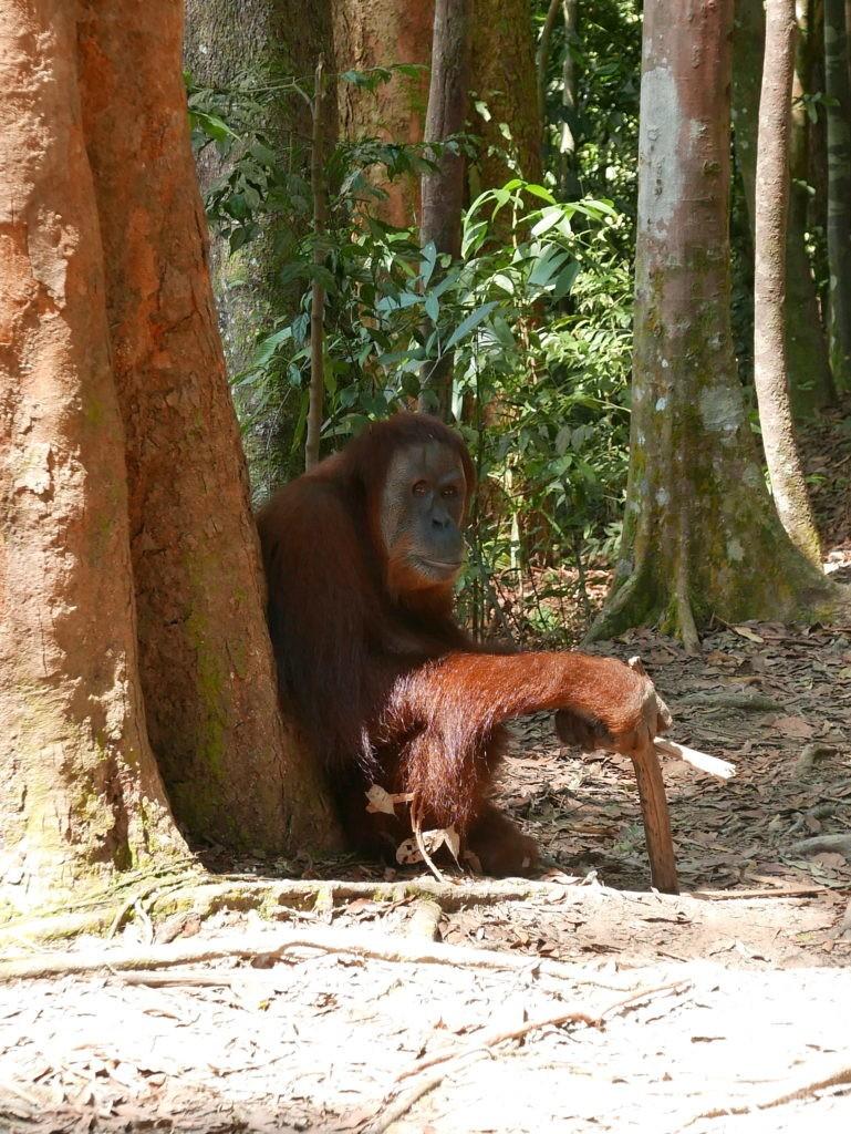 orangs outans sumatra