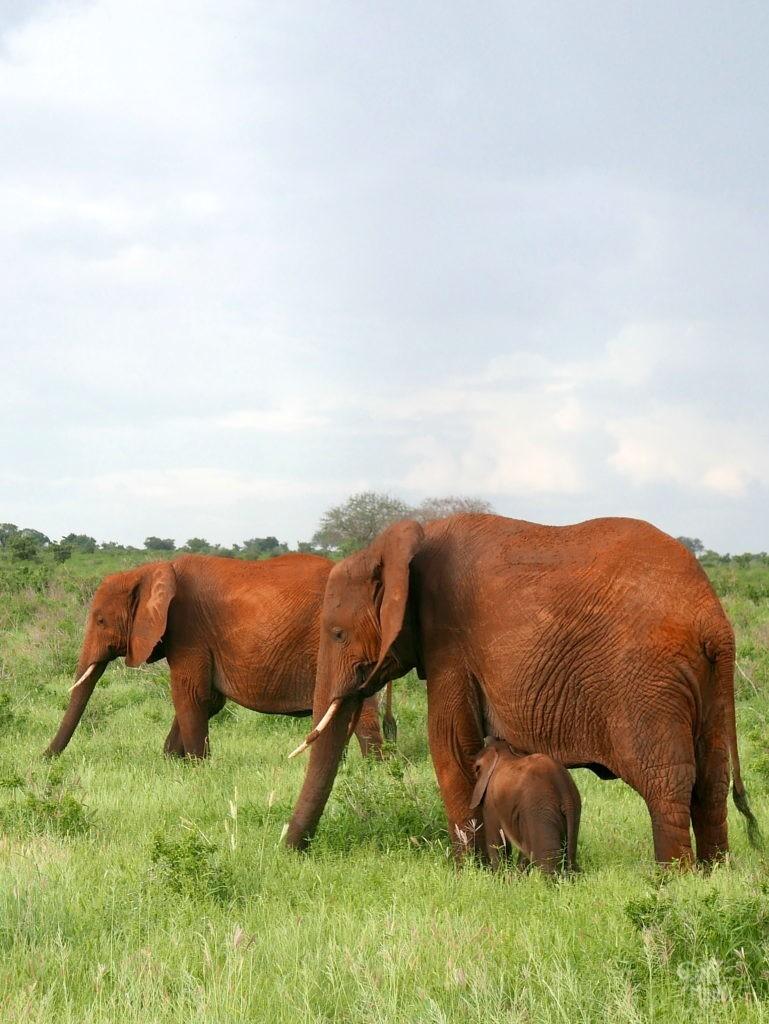 tetage éléphant