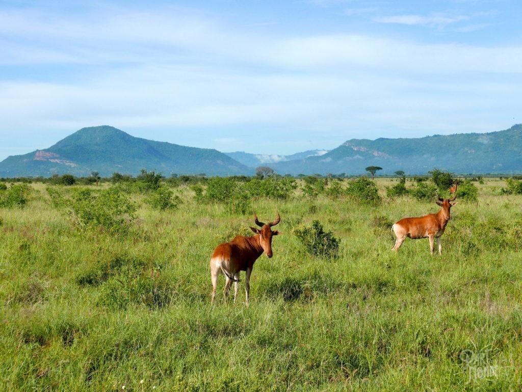 tsavo est safari gazelles