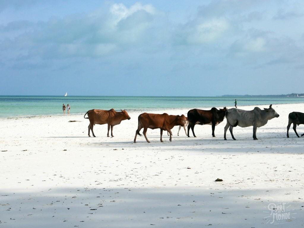 vaches plage paje