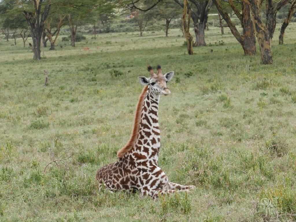 bébé girafe masai lac naivasha
