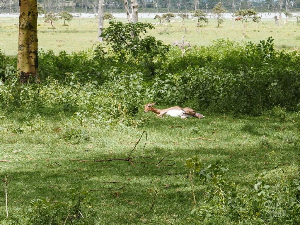 accouchement antilope lac naivasha