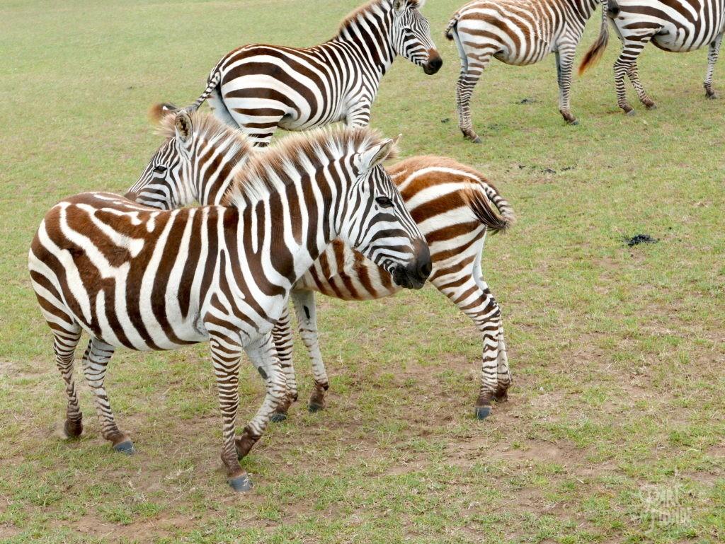 zebre naivasha