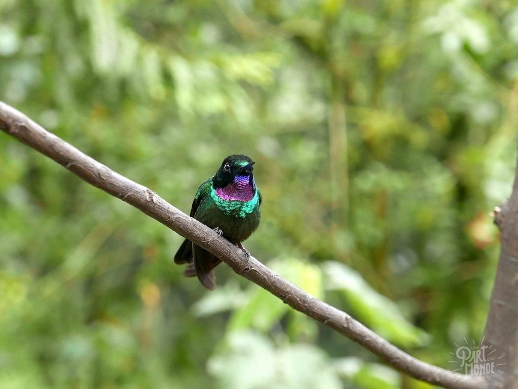 colibri irisé vallée de cocora