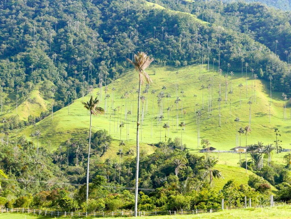 palmier vallée de cocora