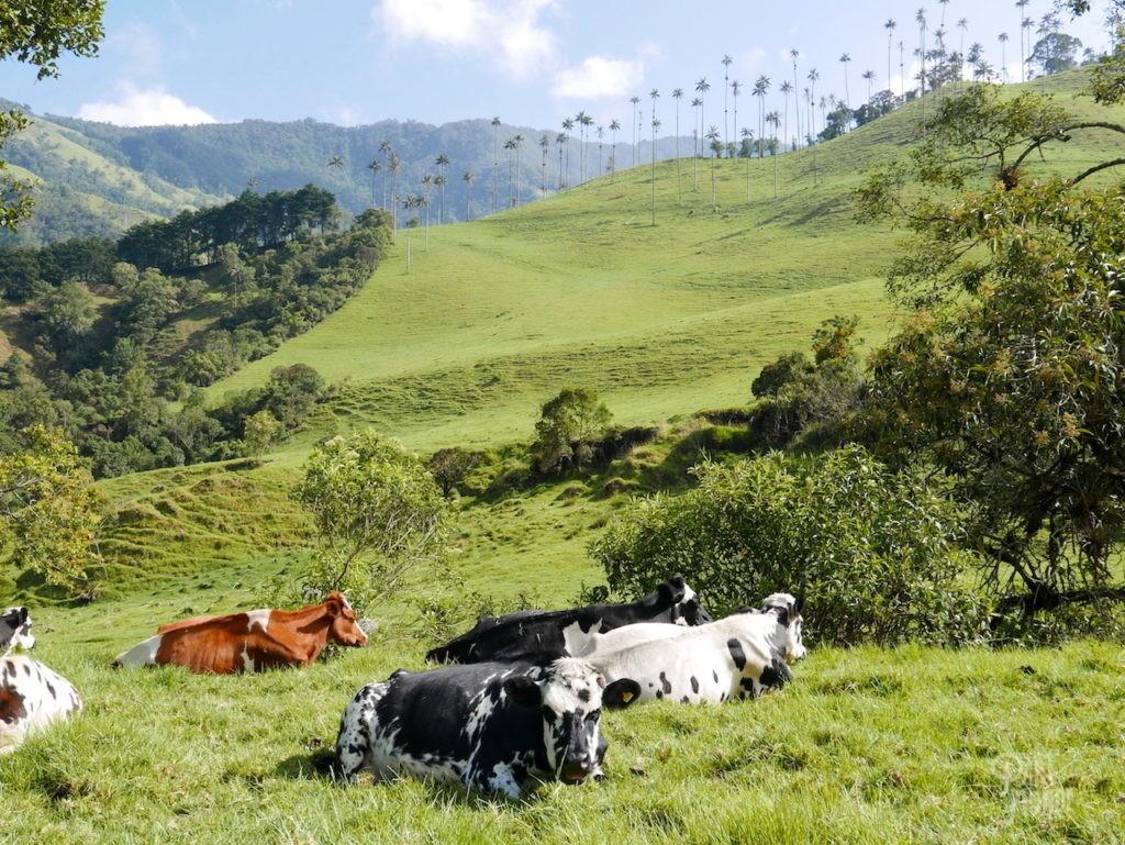vache cocora salento