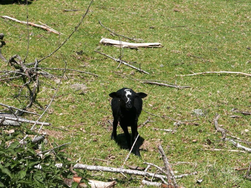 mouton vosges