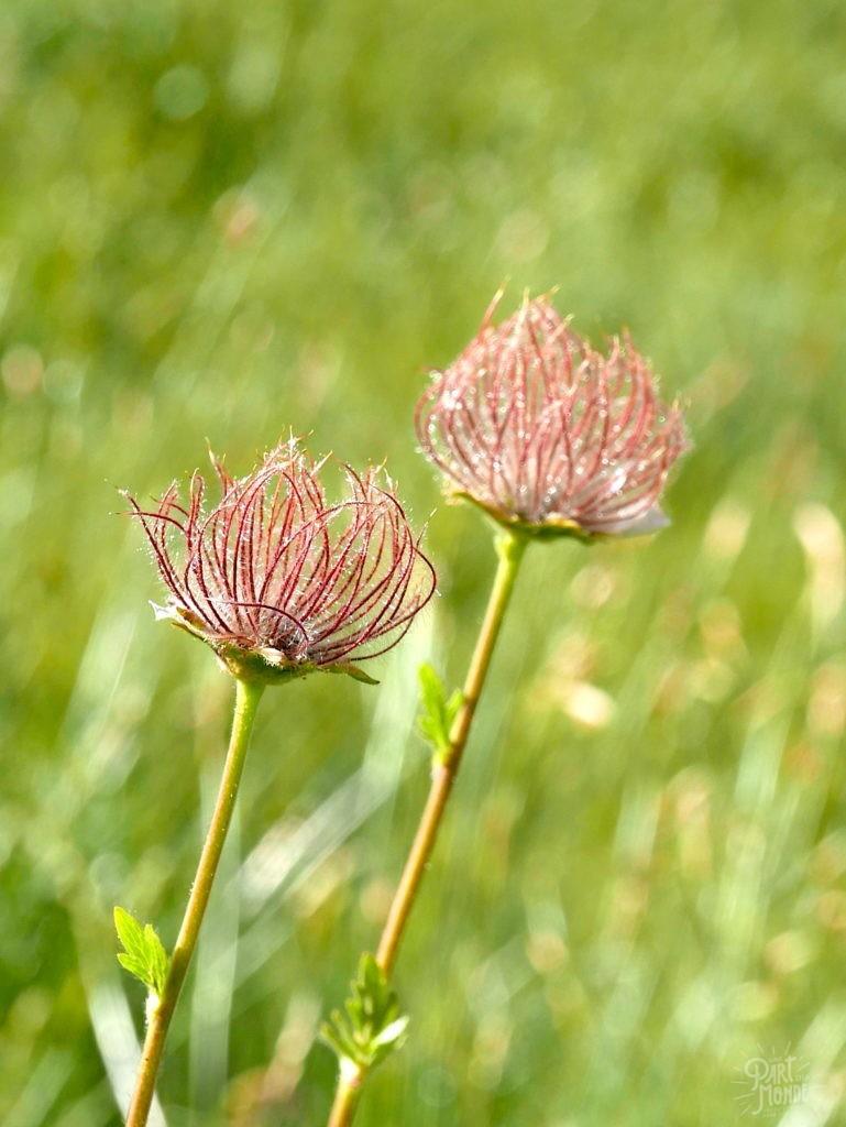 fleur montagne parc de la vanoise